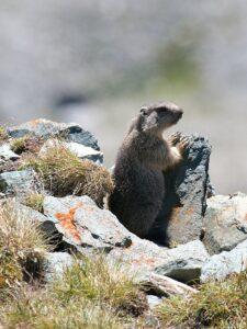 Marmot standing