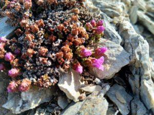 Close up of purple saxifrage