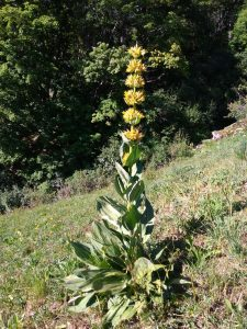 Great Yellow Gentian
