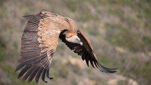 Griffon Vulture Flying