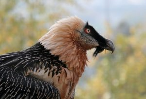 Bearded Vulture Close Up