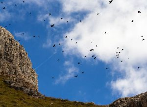 Alpine Chough Flock