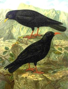 Red-billed Chough Alpine Chough